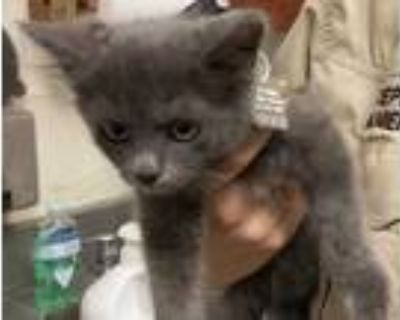 Adopt Owl a Gray or Blue Domestic Longhair / Domestic Shorthair / Mixed cat in