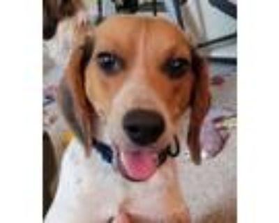 Adopt Mordeci a Tricolor (Tan/Brown & Black & White) Beagle dog in