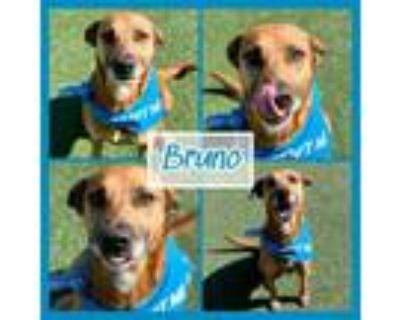 Adopt Bruno a Black Mouth Cur, Labrador Retriever
