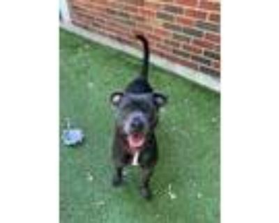 Adopt BUFFY a Black American Pit Bull Terrier / Mixed dog in Boston