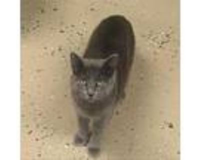 Adopt Star Attraction a Domestic Short Hair