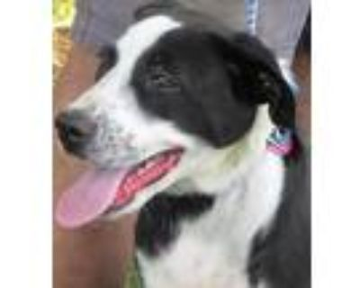 Adopt Checkers a Black - with White Border Collie / Great Pyrenees / Mixed dog