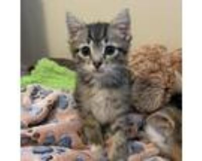 Adopt Tucker a Brown or Chocolate Domestic Shorthair / Mixed cat in Waldorf