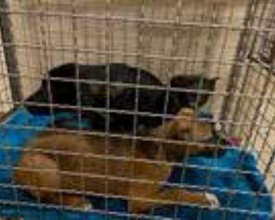 Adopt A838515 a Black - with White Labrador Retriever / Mixed dog in Austin