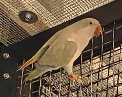 Parakeet - Other named Lavender available for adoption