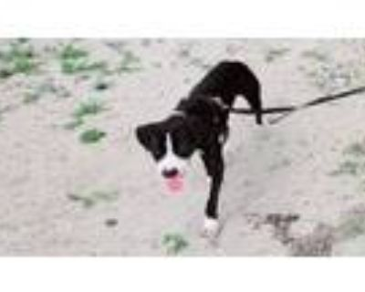 Adopt Xena a Terrier, Mixed Breed