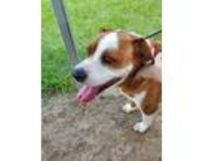 Adopt PONCHO a Boxer, Beagle