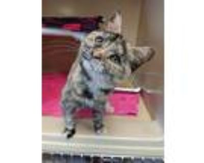Adopt JENNY a Orange or Red (Mostly) Domestic Shorthair / Mixed (short coat) cat