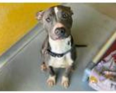 Adopt FINNEGAN a Brindle - with White American Pit Bull Terrier / Mixed dog in