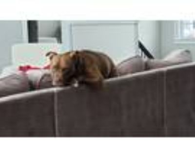 Adopt Gunner a Brown/Chocolate - with White American Pit Bull Terrier / Mixed
