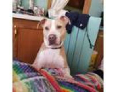 Adopt 10K a Tan/Yellow/Fawn - with White Hound (Unknown Type) / Labrador