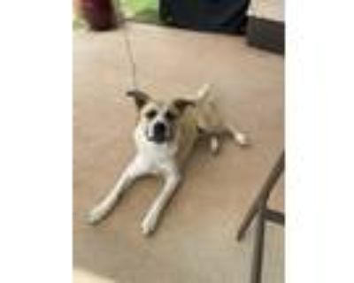 Adopt Duke - Courtesy Posting a Tan/Yellow/Fawn - with White Husky / American