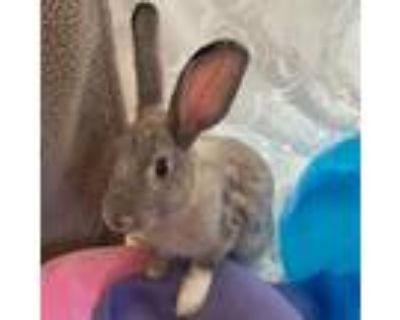 Adopt Gertie a Chinchilla