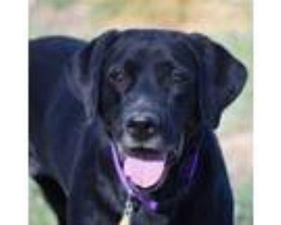 Adopt Queenie a Black Labrador Retriever