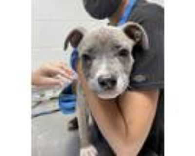 Adopt Adopted a Gray/Blue/Silver/Salt & Pepper American Pit Bull Terrier / Mixed