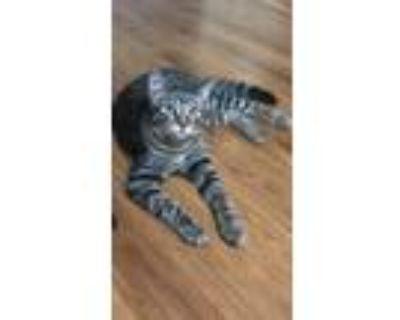 Adopt Zeppelin a Gray, Blue or Silver Tabby American Shorthair (medium coat) cat