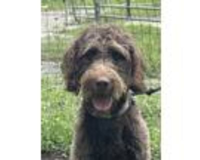 Adopt Charlie doodle a Brown/Chocolate Goldendoodle / Mixed dog in Orlando