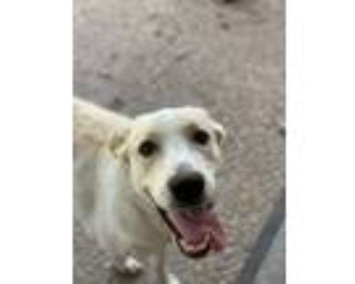 Adopt Daisy Mae a Black - with Tan, Yellow or Fawn Great Pyrenees / Spitz