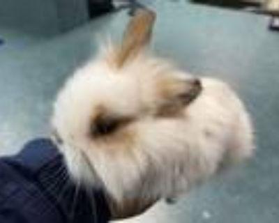 Adopt Little Bunny Foo Foo a Lionhead, Jersey Wooly