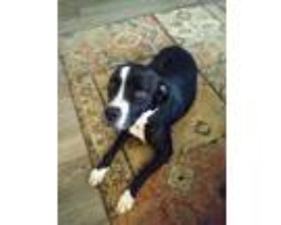 Adopt Ozwald a Black - with White Retriever (Unknown Type) / American Pit Bull