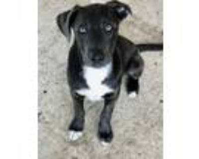 Adopt Elvis a Staffordshire Bull Terrier, Great Pyrenees
