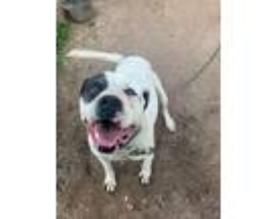 Adopt Piata - Courtesy Posting a White - with Black American Pit Bull Terrier