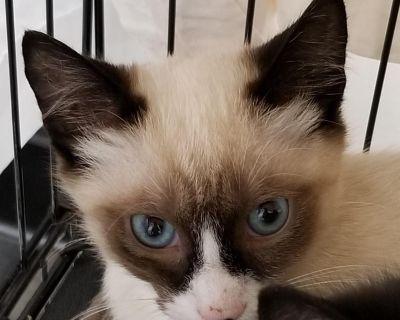 Sagwa - Domestic Shorthair/Siamese - Kitten Male