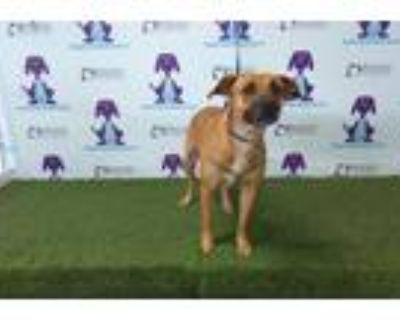 Adopt FRIDAY a Tan/Yellow/Fawn American Pit Bull Terrier / Mixed dog in Orlando