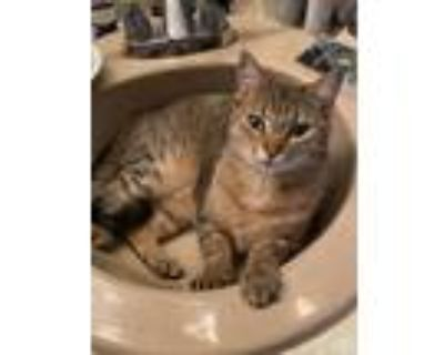 Adopt Friday a Calico or Dilute Calico American Shorthair / Mixed (short coat)