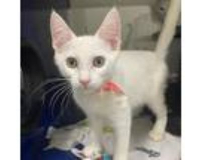 Adopt McCartney a White Domestic Shorthair / Mixed cat in North Hollywood