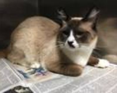 Adopt MUNDO a Brown or Chocolate (Mostly) Siamese / Mixed (short coat) cat in