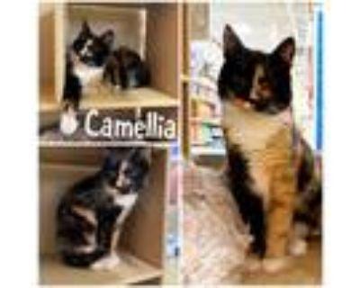 Adopt Camellia a Tortoiseshell Domestic Shorthair / Mixed cat in Hemet