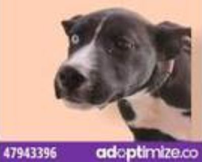 Adopt 47943396 a Black Retriever (Unknown Type) / Mixed dog in El Paso