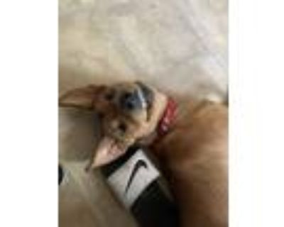 Adopt Nova a Brown/Chocolate - with Black Husky / American Pit Bull Terrier /