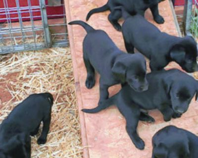 LABRADOR RETRIEVER Puppies for sale AKC Registered. 8 black available, 5 weeks old....