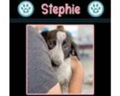 Adopt Stephie (Motley Cru) 072421 a White - with Black Labrador Retriever / Blue