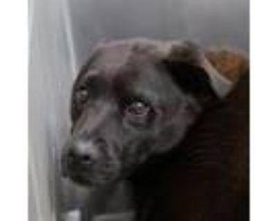 Adopt *TINA a Black Chow Chow / Mixed dog in Las Vegas, NV (32050035)