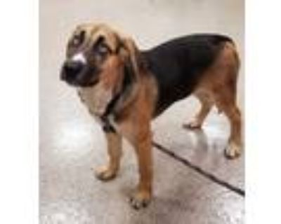 Adopt Asoka a Black Husky / Bloodhound / Mixed dog in Noblesville, IN (32049519)