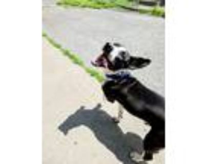 Adopt Sprinkles a Black - with White Hound (Unknown Type) / Bull Terrier / Mixed