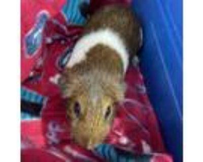 Adopt Shay a Guinea Pig