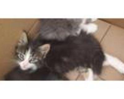 Adopt LUNA a Brown Tabby Domestic Mediumhair / Mixed (medium coat) cat in