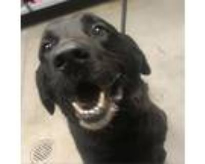 Adopt Drake a Black Labrador Retriever dog in Yuma, AZ (31150202)