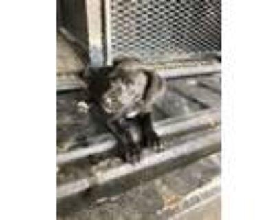 Adopt 48338474 a Black Labrador Retriever / Mixed dog in Shelby, NC (32106257)