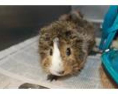 Adopt MARY a Black Guinea Pig / Mixed small animal in Los Angeles, CA (32133889)