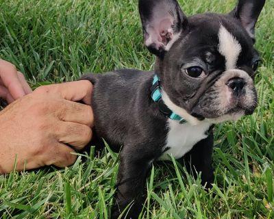 Spade Male French Bulldog Puppy