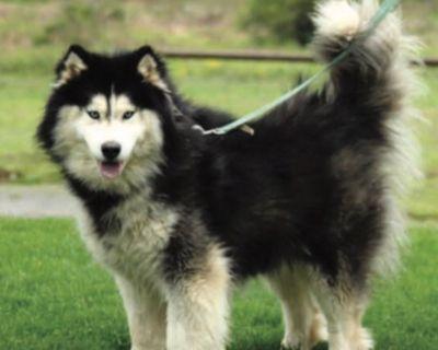Wooly Siberian Husky Puppies