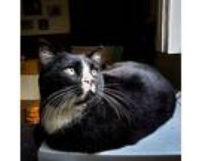 Bootsie, Domestic Shorthair For Adoption In Los Angeles, California