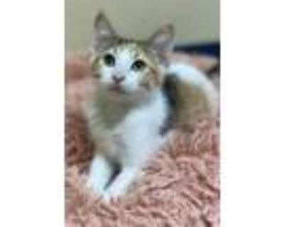 Adopt Ophelia a White Domestic Shorthair / Domestic Shorthair / Mixed cat in