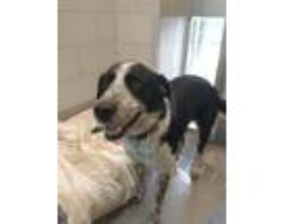 Adopt APPLE a Border Collie, Mixed Breed