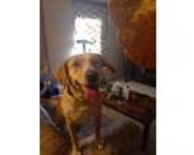 Adopt Star a Tan/Yellow/Fawn - with White Hound (Unknown Type) / Labrador